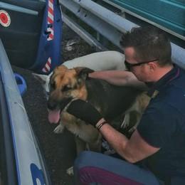 Due cani a spasso lungo l'autostrada A4 Recuperati dalla Stradale di Seriate: salvi