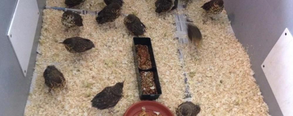 Traffico illegale, 300 uccellini sequestrati «Svezzati» al centro Wwf Valpredina