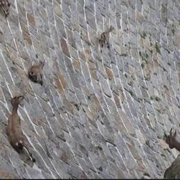 Stambecchi sulla diga - Video Spettacolo al lago del Diavolo