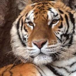 Giornata della tigre alle Cornelle