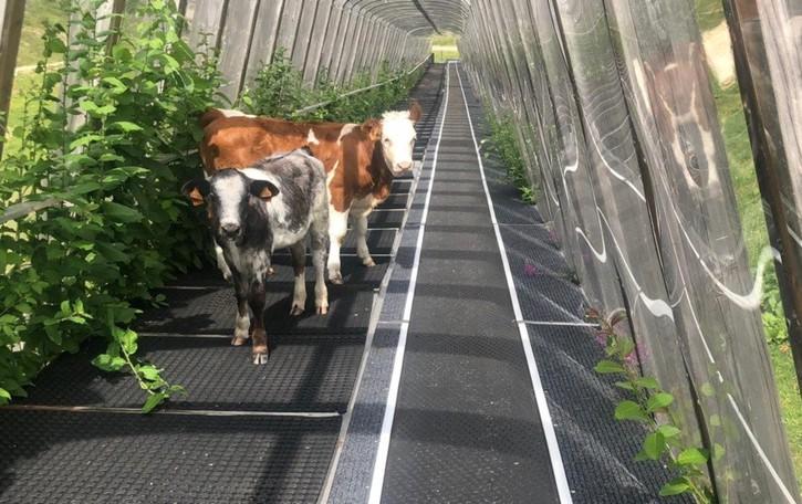 Val Carisole, impianti di sci all'asta  Intanto sul  tapis roulant ci sono le mucche