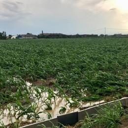 Strage nei campi di mais della Bassa Coldiretti: un duro colpo all'agricoltura