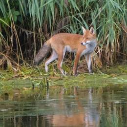 A Dalmine volpi, aironi e falchi «Estendiamo il divieto di caccia»