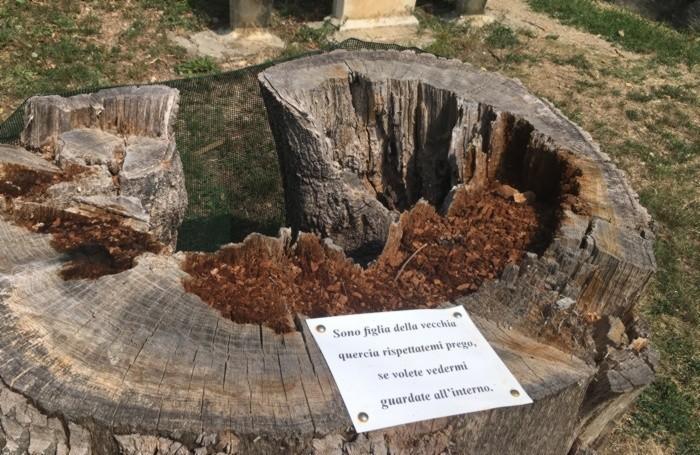 Il ceppo della quercia e i germogli al suo interno