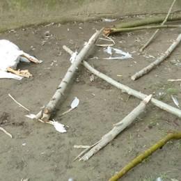 «Oca uccisa a bastonate» La denuncia dell'oasi di Alzano