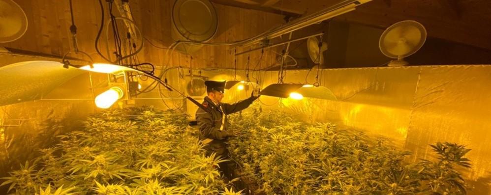 Due serre con 335 piante di canapa Tre arresti a Carobbio degli Angeli - Foto