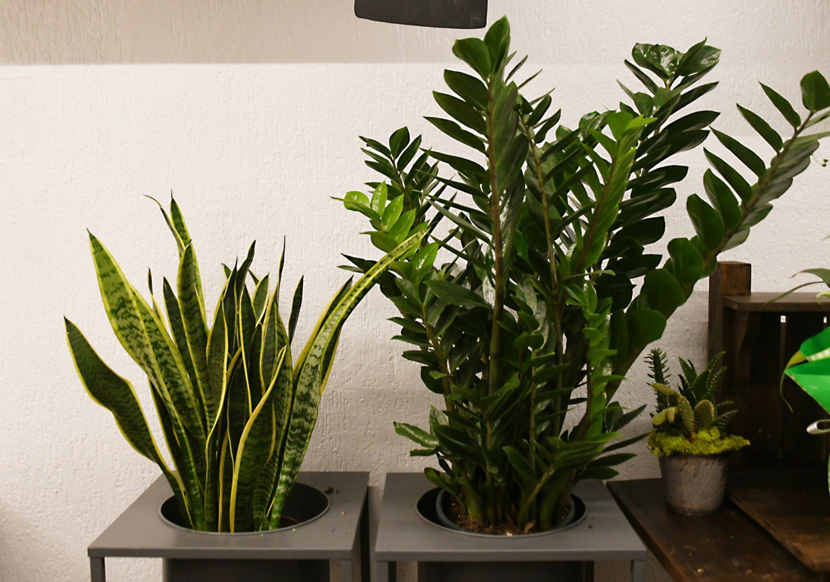 Piante Verdi Da Appartamento Zamioculcas.Piante E Fiori D Appartamento Belli E Facili Da Mantenere Eppen