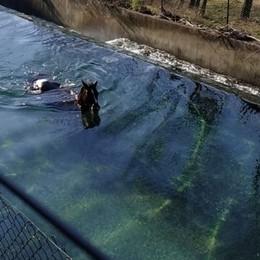 Un cavallo caduto in un canale a Casnigo Per recuperarlo arrivano i Vigili del fuoco