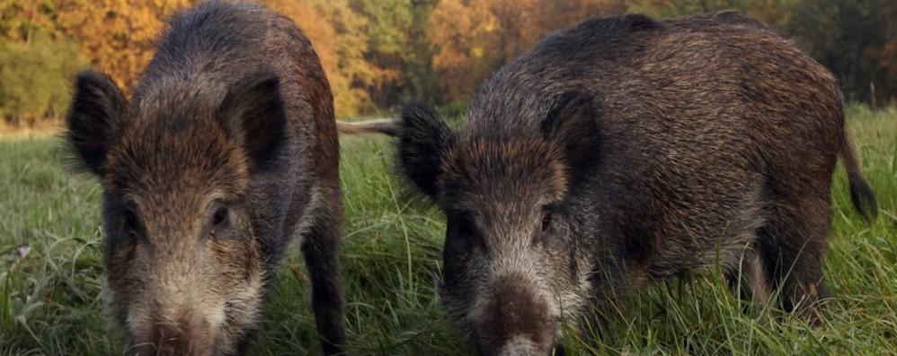 Abbattimenti cinghiali: +25% La legge sulla caccia di selezione funziona