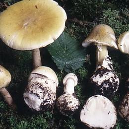 Mangia per sbaglio il più tossico dei funghi Donna di 88 anni lo sconfigge e si salva