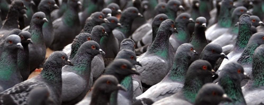 Dà da mangiare ai piccioni a Seriate Lei è di Scanzo: multa di 500 euro