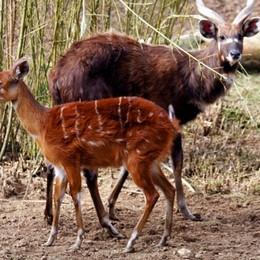 È nata un cucciolo di antilope Fiocco rosa alle Cornelle - Foto