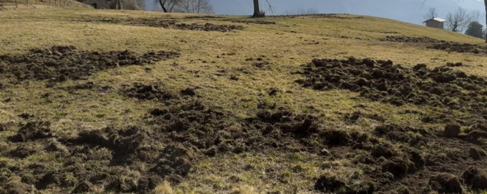 Boom di cinghiali, terreni distrutti «Strappano l'erba,  una devastazione»