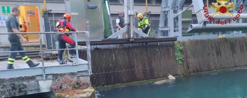Daino cade in un canale a Credaro Salvato dai Vigili del fuoco - Foto