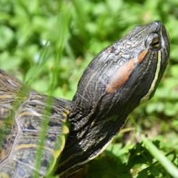 Il problema irrisolto delle tartarughe palustri