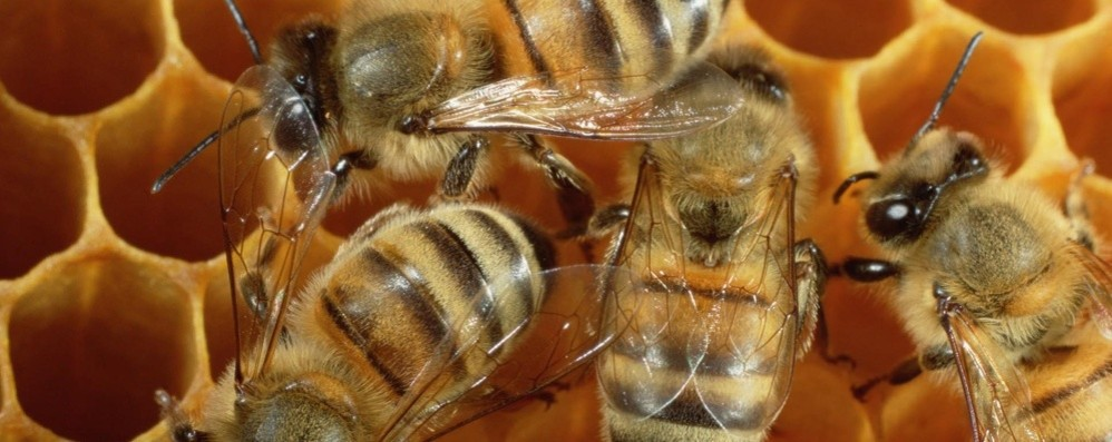 Mercoledì 20 giornata mondiale delle  api Nella Bergamasca ci sono 18 mila alveari