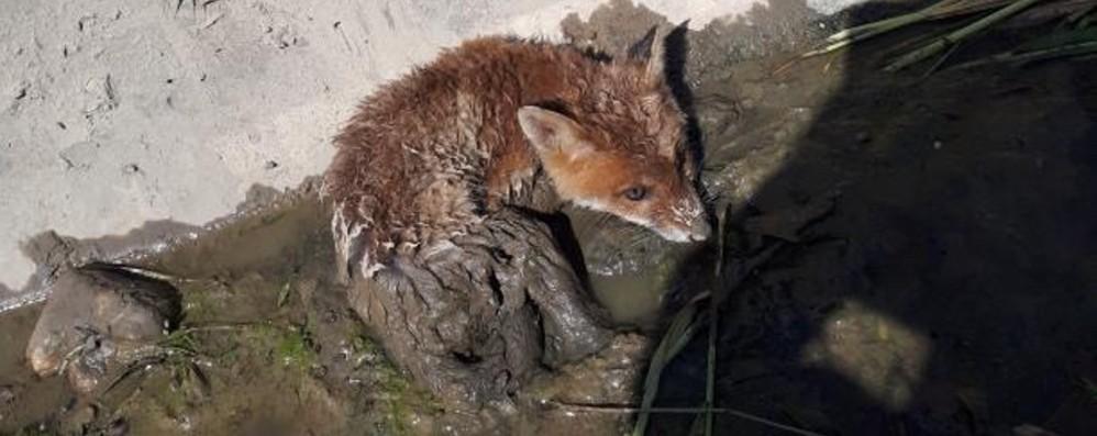 Una piccola volpe incastrata nel canale Era terrorizzata: salvata da un cane