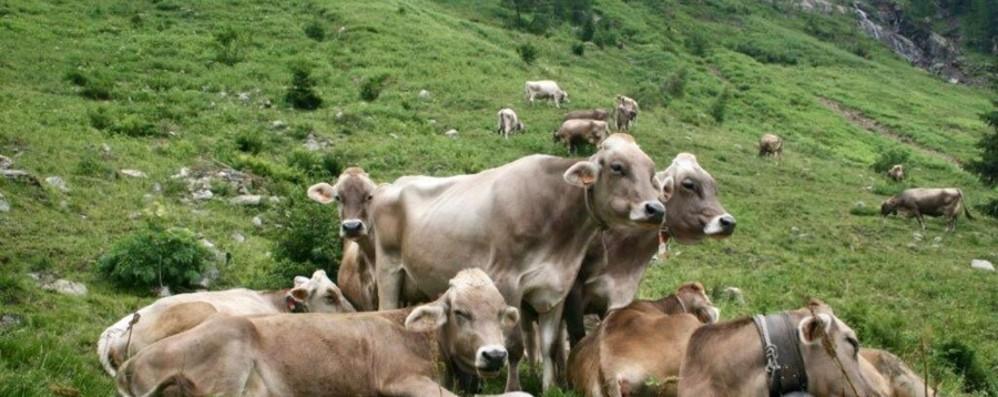 L'agricoltura di montagna in ginocchio: «Risalita dura»