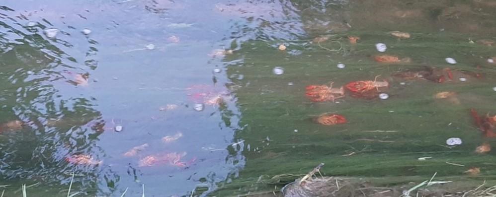 Morengo, liquami versati nel canale  La fine dei gamberi di fiume