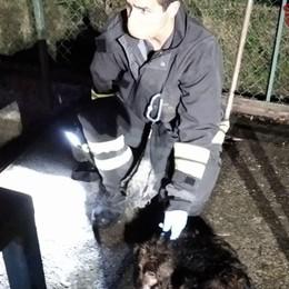 Calcinate, cani finiti nella roggia Salvati dai Vigili del fuoco - Foto