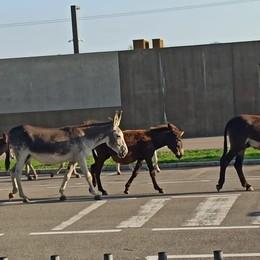 A Cavernago ci sono... gli asini Gruppo a spasso per le vie del paese