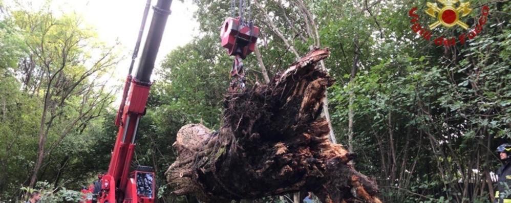 Albero secolare sulla pista ciclabile - Foto Pioppo rimosso nel Parco Prato Alto