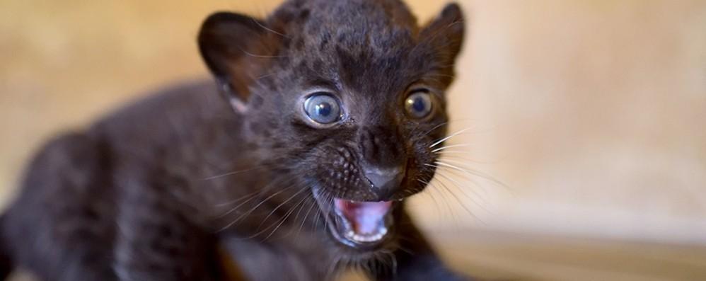 Baby pantera al Parco Le Cornelle Il nome? Si sceglie online - Foto e video