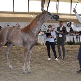 Cavalli arabi, a Zanica si riparte dal concorso internazionale