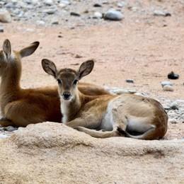 Scegli il nome per le nuove antilopi Cornelle, bimbi gratis a Sant'Alessandro