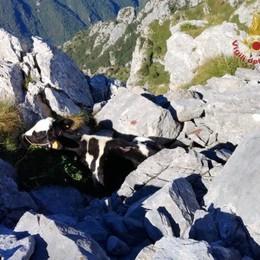 Temporale, 2 mucche fuggono nei boschi Una muore, l'altra in salvo con l'elicottero