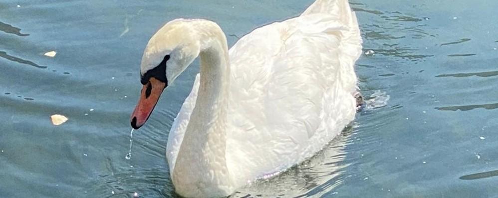 C'è un cigno sul lago di Endine Occasione unica per lasciarlo in pace