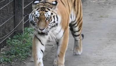 Le nuove tigri  dell'Amur alle Cornelle