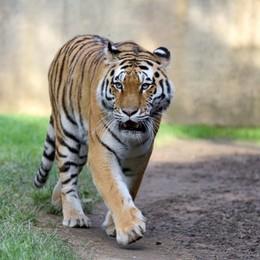 Valbrembo, uno gnu e due tigri Nuovi arrivi alle Cornelle - Foto/video