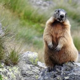 «Modella marmotta...»