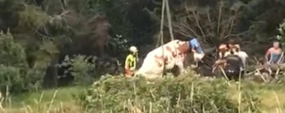 Mucca scivola dal sentiero Il video dei soccorsi a Rovetta