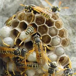 Vedeseta, attaccate dalle vespe Si buttano nel torrente e si «salvano»