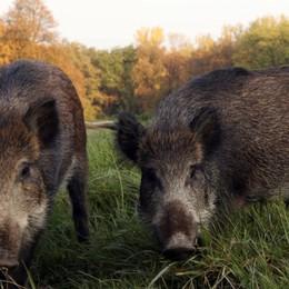 «Agricoltori ostaggi dei cinghiali» Coldiretti: preoccupa la peste suina