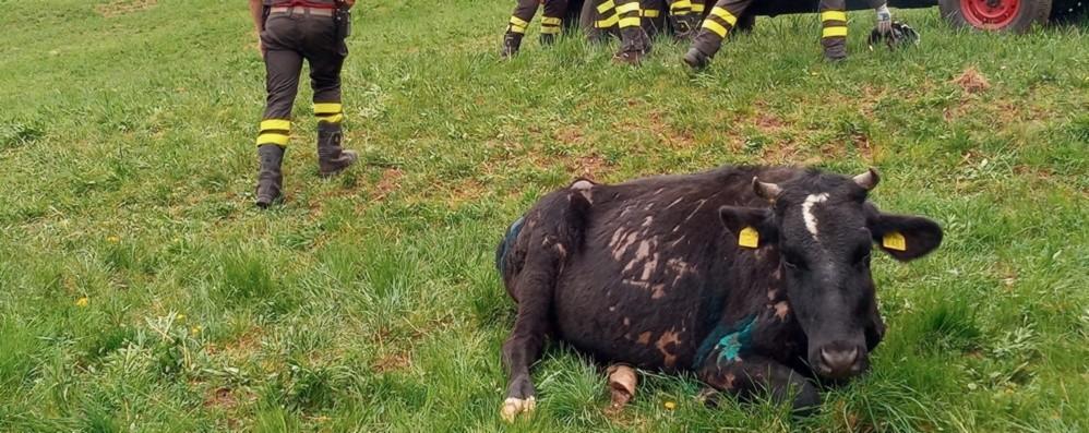 Mucca cade in un dirupo a Endine, salvata con una rete calata dall'elicottero