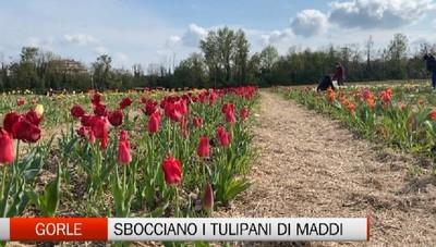 Gorle, il mese dei tulipani di Maddi
