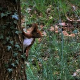 Nel lockdown la natura si riprende gli spazi: a Filago ricompare lo scoiattolo rosso