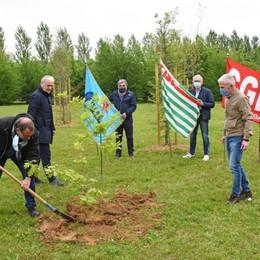 Primo Maggio, il gesto simbolico dei sindacati: una quercia per ricordare le vittime del Covid nel Bosco della Memoria