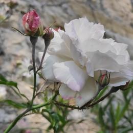 «Una rosa per tutte le mamme...»