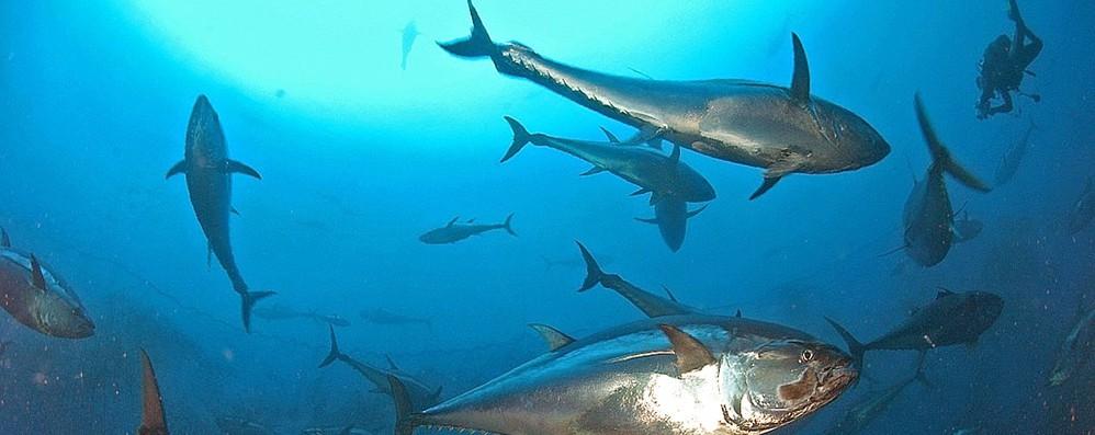Parlamento Ue verso lo scontro con gli Stati su quote tonno rosso