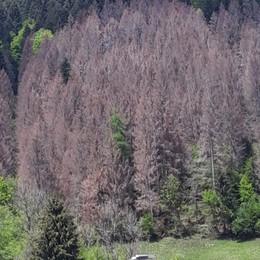 Ardesio, boschi uccisi dal Bostrico, è l'eredità della tempesta Vaia