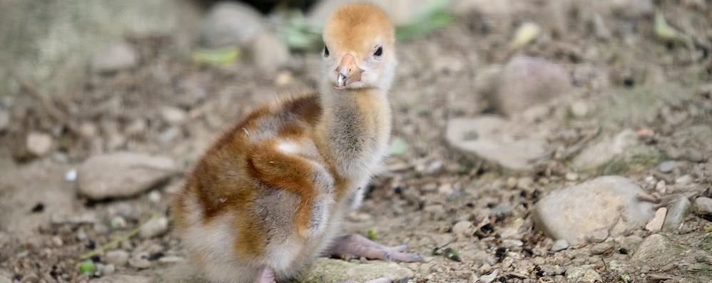 Tempo di nascite alle Cornelle, cuccioli di pinguino, gru e gufo. Dalla Germania anche due gnu