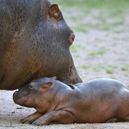 Baby ippopotamo a Le Cornelle,  contest su Facebook per scegliere il nome - Video