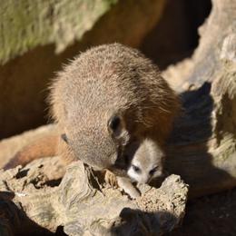 Fiocco rosa alle Cornelle: nata una femmina di suricato. «Ora aiutateci a scegliere il nome»