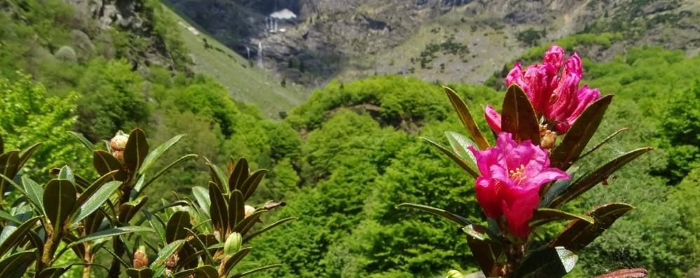 Fiori, cascate e stambecchi, sulle Orobie lo spettacolo della natura