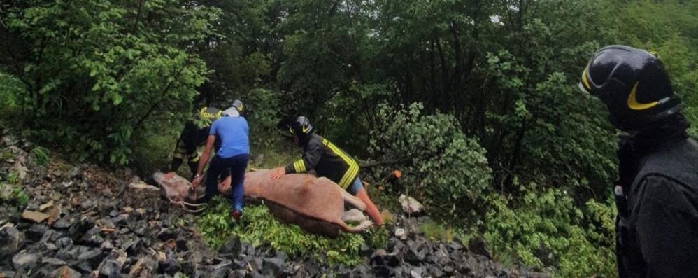 Gandino, asino cade nel dirupo: portato in salvo con l'elicottero dei pompieri - Foto