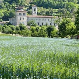 Pennellate d'azzurro ad Astino, c'è un campo che fa sognare: sono i fiori del lino